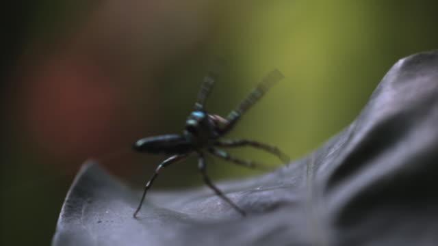 vidéos et rushes de slomo jumping spider lands on leaf, singapore - araignée