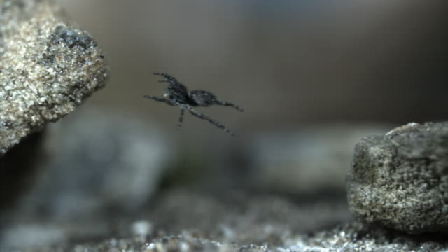 Jumping spider (Salticidae) leaps between rocks, China