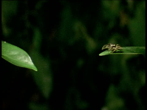Jumping spider leaps between two leaves and trails a thread of silk, Assam