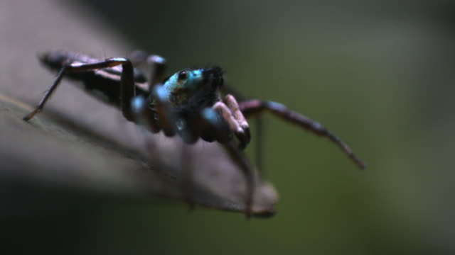 slomo jumping spider leaps from leaf, singapore - spinnennetz stock-videos und b-roll-filmmaterial