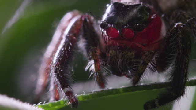 Jumping spider peers from leaf