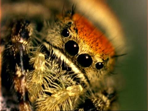 vídeos de stock, filmes e b-roll de cu jumping spider, phidippus audax, to camera, usa - medo