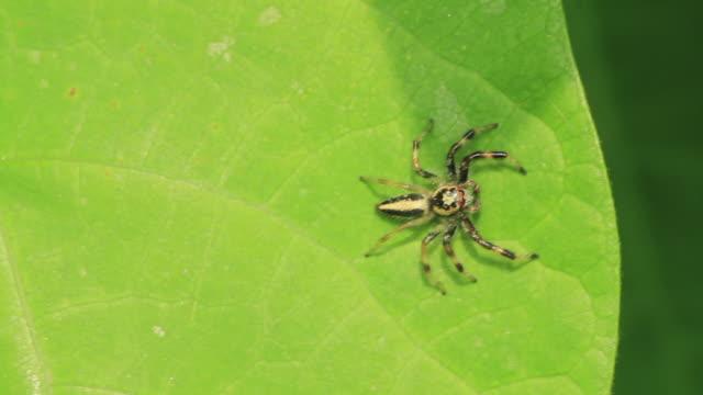 jumping spider (telamonia vlijmi) - lebenszyklus stock-videos und b-roll-filmmaterial