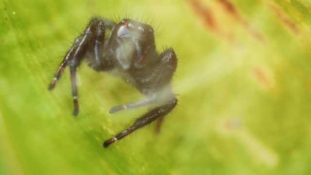 Araignée-sauteuse