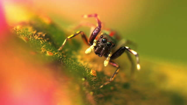 jumping spider - multi coloured stock videos & royalty-free footage