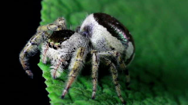 jumping spider - animal teeth stock videos & royalty-free footage