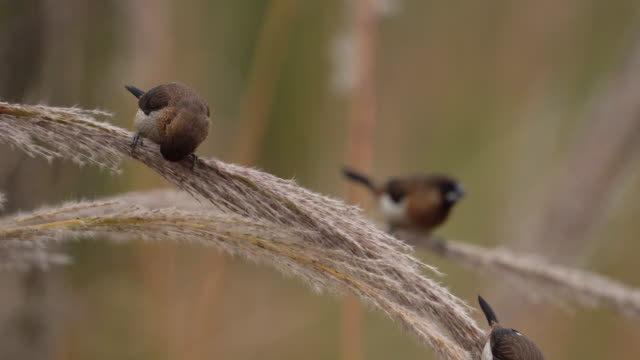 juncos pearching on the grass branch - zoology stock videos & royalty-free footage