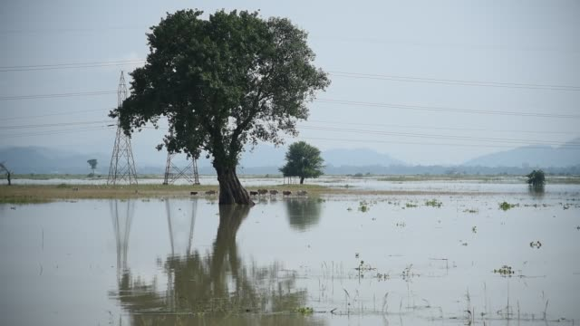 june 2020. cows are seen in a submerged paddy field, following heavy rainfall, at murkata village in morigaon district, sunday, june 28, 2020.... - underwater stock videos & royalty-free footage
