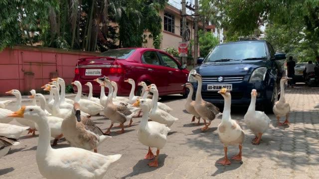 vídeos y material grabado en eventos de stock de june 2020. gaggle of geese crossing a road, during covid19 lockdown, in guwahati on saturday, 20 june 2020. - manada