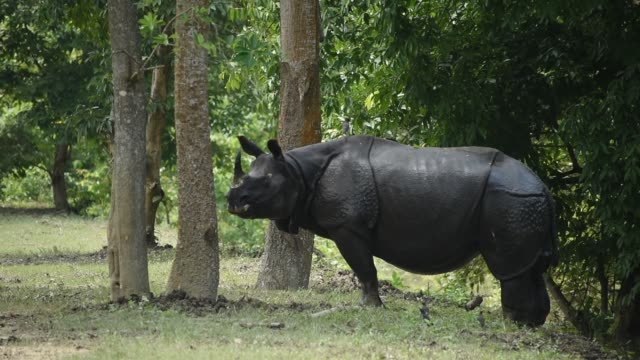 june 2020. indian one-horned rhinoceroses shelter at a higher land, following flooding in the low-lying areas of pobitora wildlife sanctuary, in... - horned stock videos & royalty-free footage