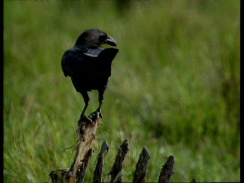 MCU Jungle crow perching on ribs of carcass, looking around, India