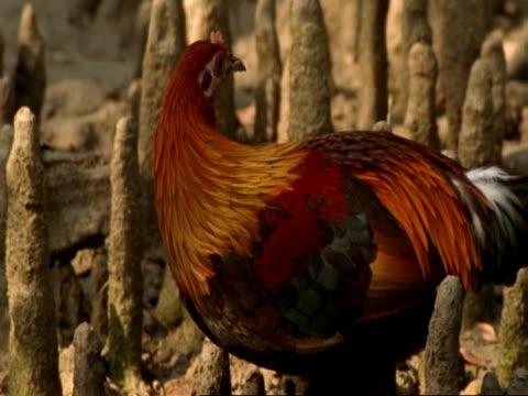 CU Jungle Fowl feeding amongst tree roots, India