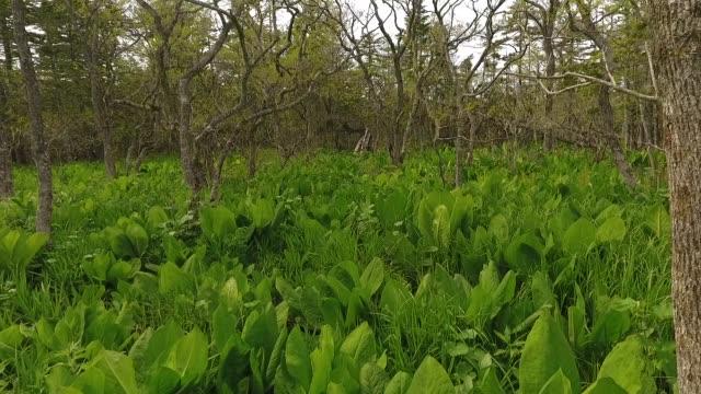Dschungel auf Kunashir Island (Kuril Islands)