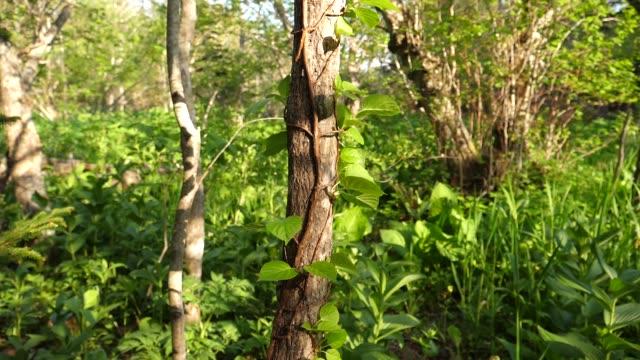 Jungles in Kunashir Island (Kuril Islands)