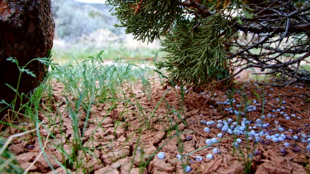 Juniper berries on ground cracked earth Spring Sutton Mountain John Day Great Basin High Desert Columbia Plateau