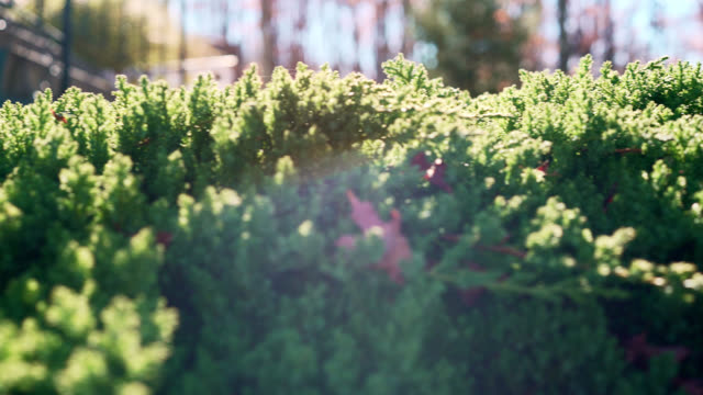 Juniper - panning shallow DOF video against the sunlight, with artistic lens flare