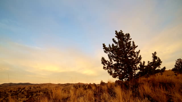 Juniper tree at dawn against overcast sky