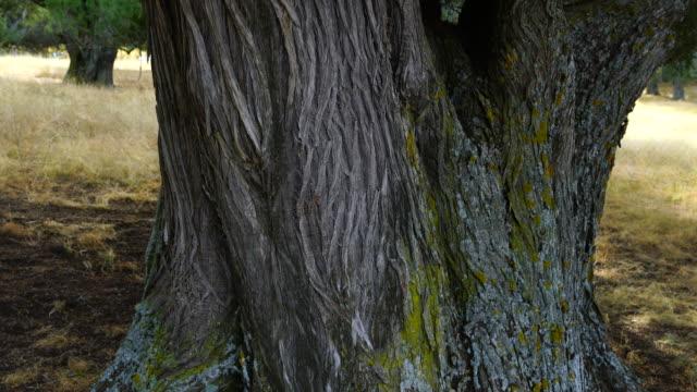 sabinar - spanish juniper juniperus thurifera, enebral de hornuez, segovia, castill y leon, spain, europe - segovia stock videos & royalty-free footage