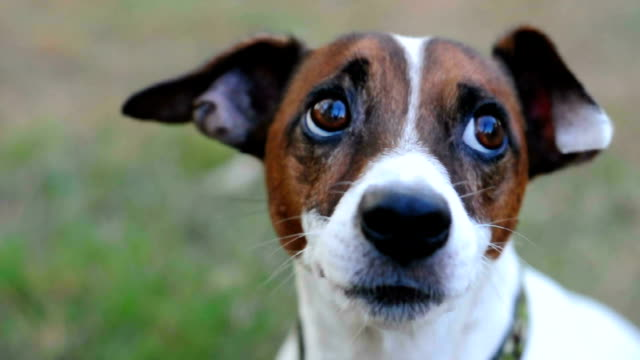 just looking around - jack russell terrier stock videos & royalty-free footage