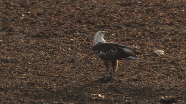stockvideo's en b-roll-footage met a juvenile african fish eagle feeds on catfish. - african fish eagle