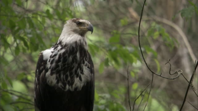 stockvideo's en b-roll-footage met juvenile african fish eagle (haliaeetus vocifer) in tree, uganda - african fish eagle