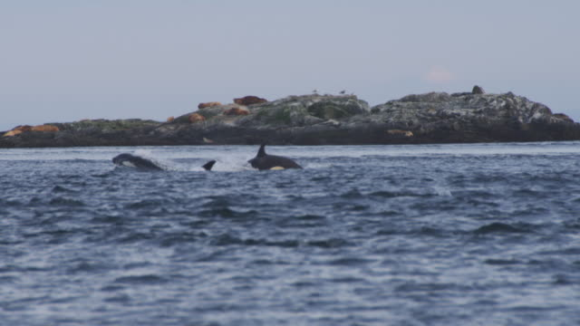 vidéos et rushes de juvenile and adult orca surface and breathe with harbour seals group on rock in background  - organisme aquatique