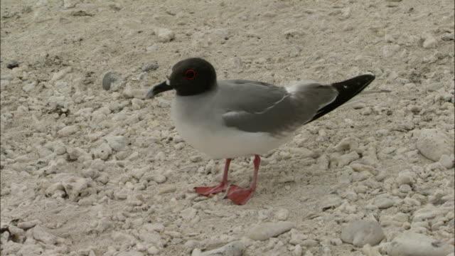 a juvenile and adult swallow tailed gull walk on a beach of the galapagos islands in ecuador. - vattenfågel bildbanksvideor och videomaterial från bakom kulisserna