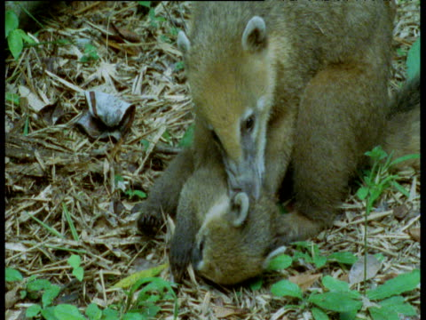 Juvenile and baby coati play fight on forest floor, Brazil