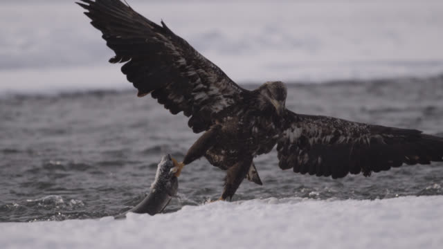 vídeos de stock, filmes e b-roll de juvenile bald eagle (haliaeetus leucocephalus) catches salmon in river, alaska, usa - fauna silvestre