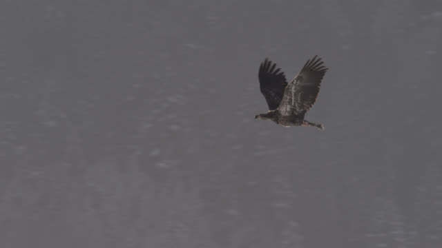 juvenile bald eagle (haliaeetus leucocephalus) flies over forest, alaska, usa - 動物の翼点の映像素材/bロール