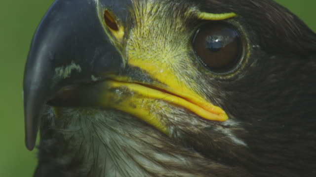 ecu juvenile bald eagle looking round - bird of prey stock videos & royalty-free footage