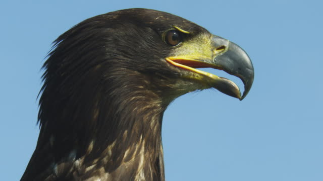 cu juvenile bald eagle looking round with blue sky background - young animal stock videos & royalty-free footage