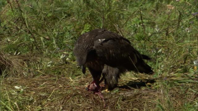 vidéos et rushes de a juvenile bald eagle scavenges a salmon carcass. - rapace