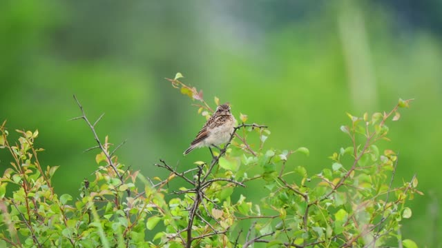 juvenile bird on the twig - songbird stock videos & royalty-free footage