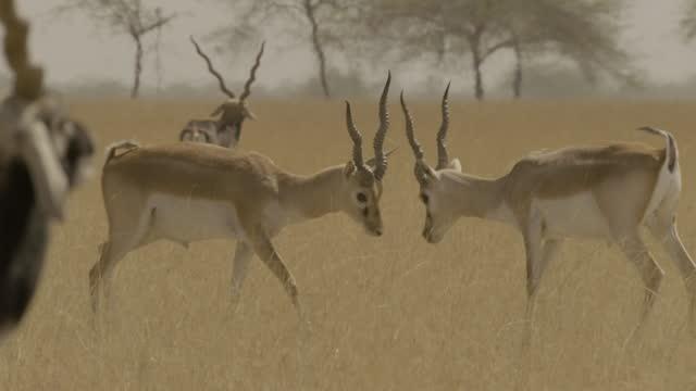 vídeos y material grabado en eventos de stock de juvenile blackbucks fight, india. - grupo mediano de animales