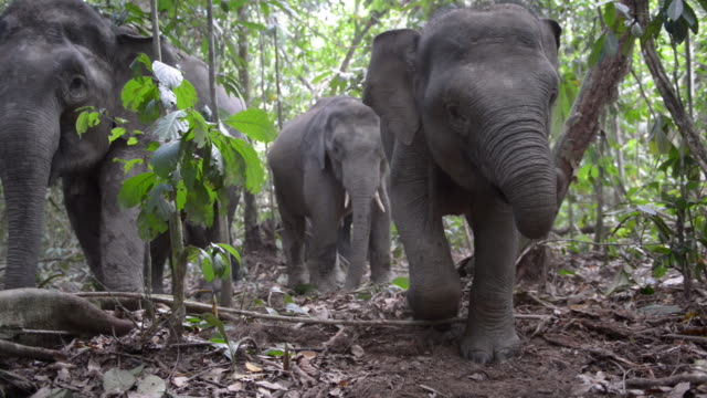 juvenile bornean pygmy elephant eating roots in jungle - standing stock videos & royalty-free footage