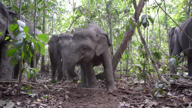 vídeos de stock, filmes e b-roll de juvenile bornean pygmy elephant playing with sticks - grupo pequeno de animais