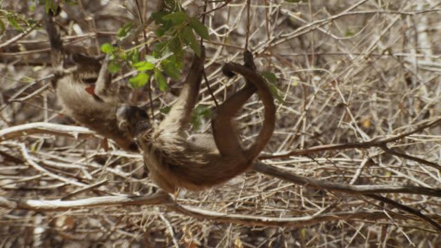 juvenile brown capuchin (sapajus apella) fight in trees. - south america stock videos & royalty-free footage