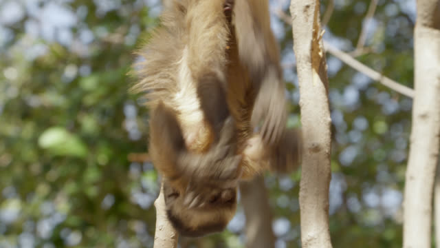 juvenile brown capuchin (sapajus apella) plays with its feet then rocks as it hangs upside down by its tail. - hanging stock videos & royalty-free footage