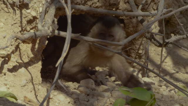 juvenile brown capuchin (sapajus apella) pulls at twigs in front of hole in ground. - hiding stock videos & royalty-free footage