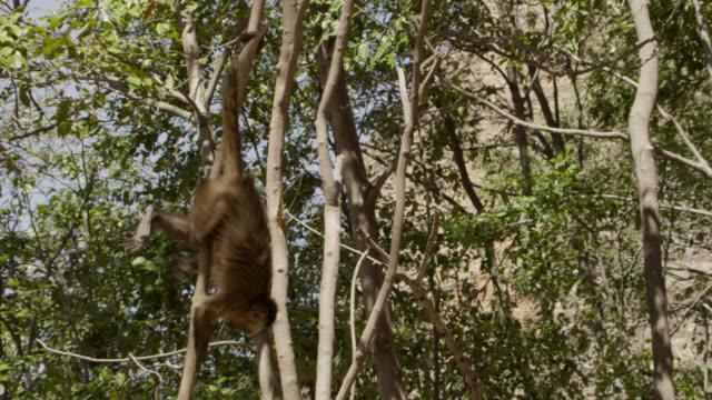 juvenile brown capuchin (sapajus apella) swings as it hangs upside down by its tail. - tail stock videos & royalty-free footage