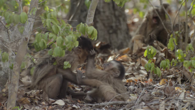 juvenile brown capuchins (sapajus apella) fight and wrestle in leaves. - south america stock videos & royalty-free footage