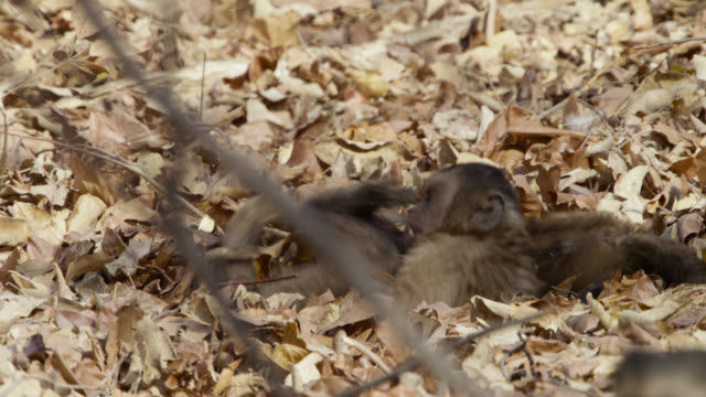 juvenile brown capuchins (sapajus apella) play in leaves. - rolling stock videos & royalty-free footage