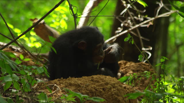 cu juvenile chimpanzee fishing for and eating termites using a twig - twig stock videos & royalty-free footage
