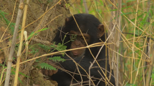 cu juvenile chimpanzee fishing for termites with a twig and looking round - twig stock videos & royalty-free footage