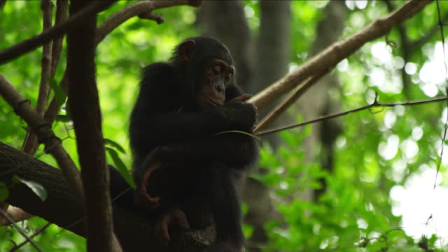 la ms juvenile chimpanzee sitting in tree with twig for fishing pan as it walks down branch - twig stock videos & royalty-free footage
