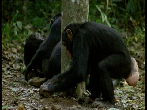 vídeos y material grabado en eventos de stock de juvenile chimpanzee tries (unsuccessfully) to crack nuts using stones - chimpancé común