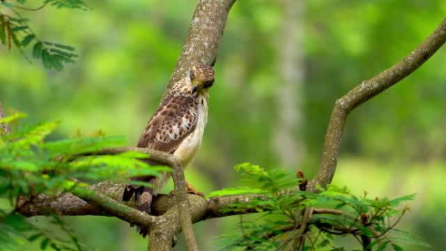 juvenile crested serpent eagle (spilornis cheela): sri lanka - sri lanka stock videos & royalty-free footage
