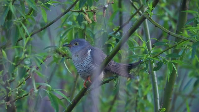 juvenile cuckoo perching on a tree - birdsong stock videos & royalty-free footage