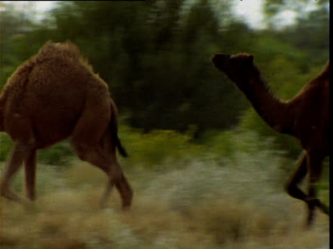 juvenile dromedary camels sprint and chase in outback, northern territory, australia - stray animal stock videos & royalty-free footage